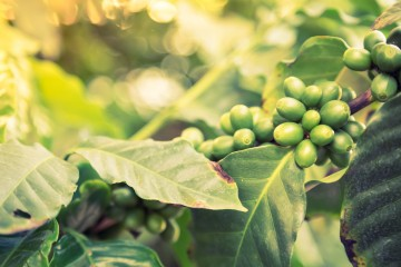 Coffee tree branch and beans